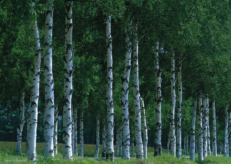 有名な大きなセコイアの木が立っています