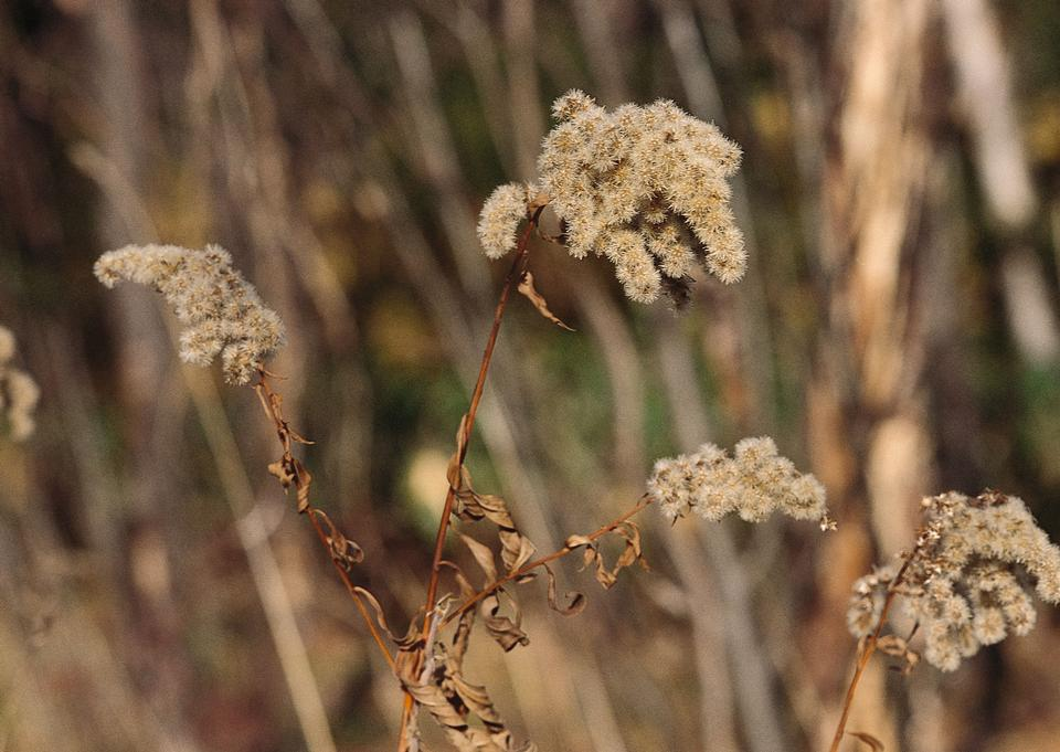 Vase of dried soft autumn flowers. Rabbit Tail Grass
