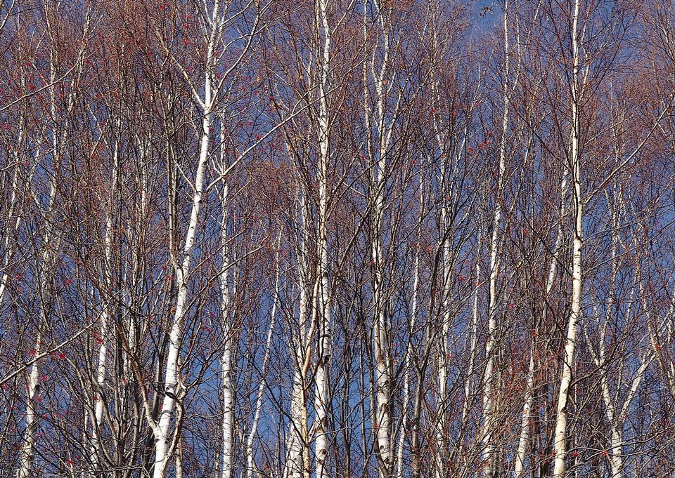 Birch Grove.Winter.