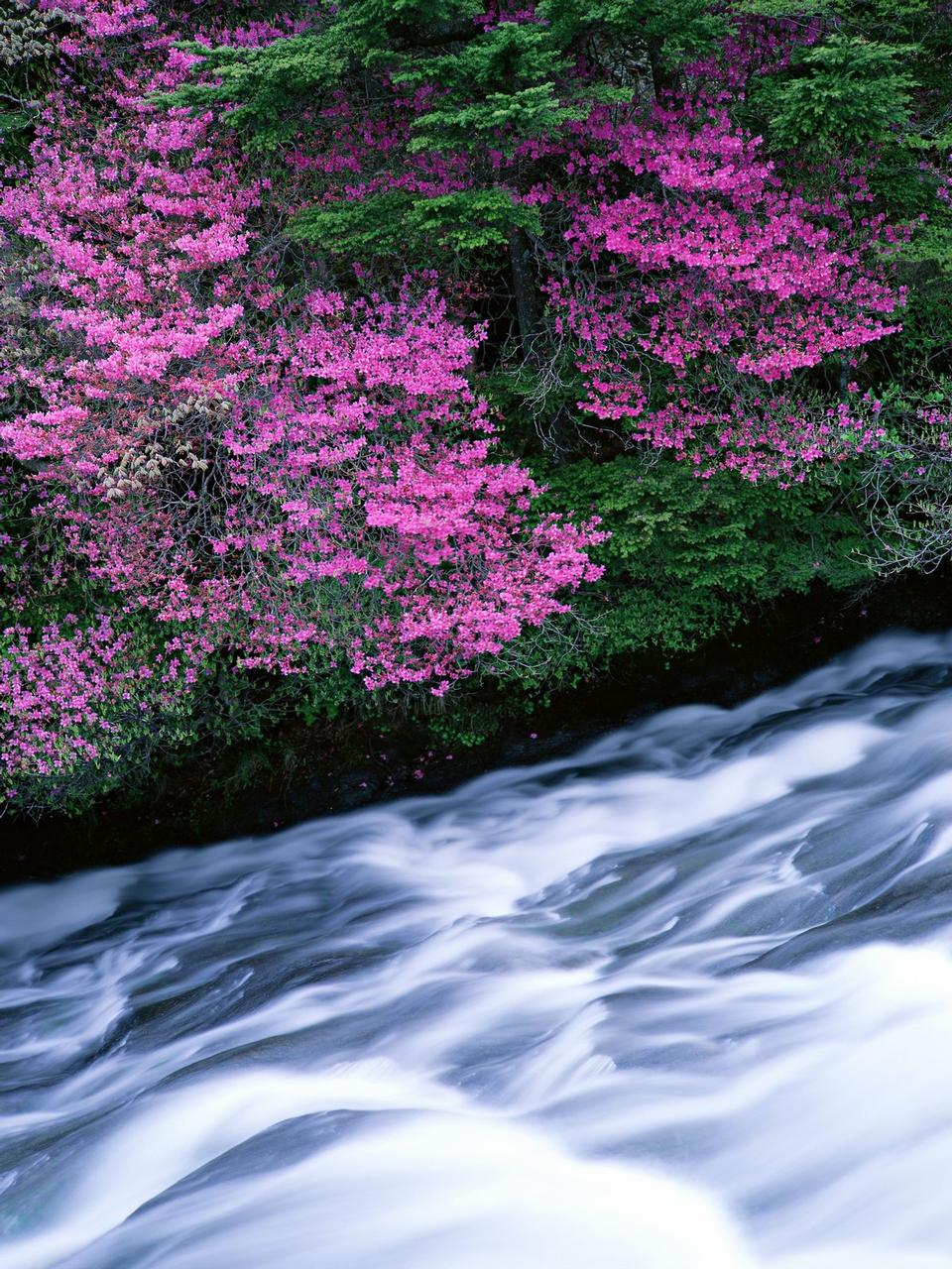 Mountain River in the flower tree