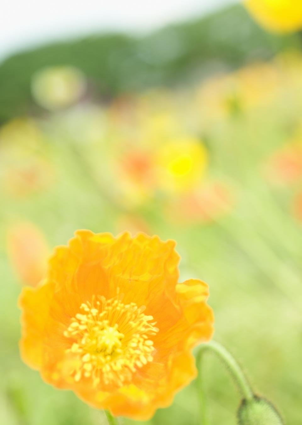 野生花卉 - 黃色野罌粟