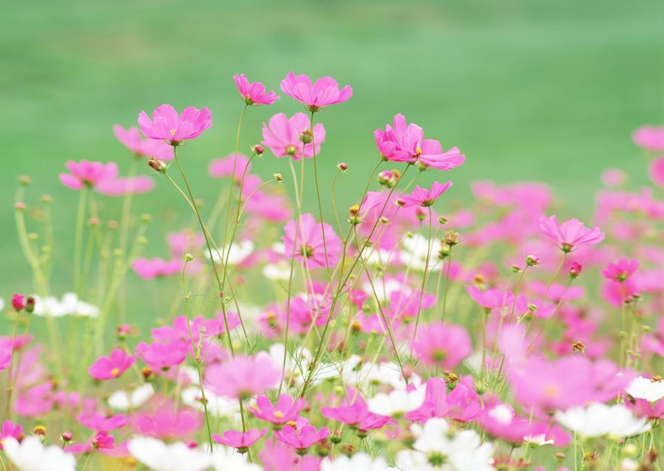 Field of Cosmos Blooming Horizontal