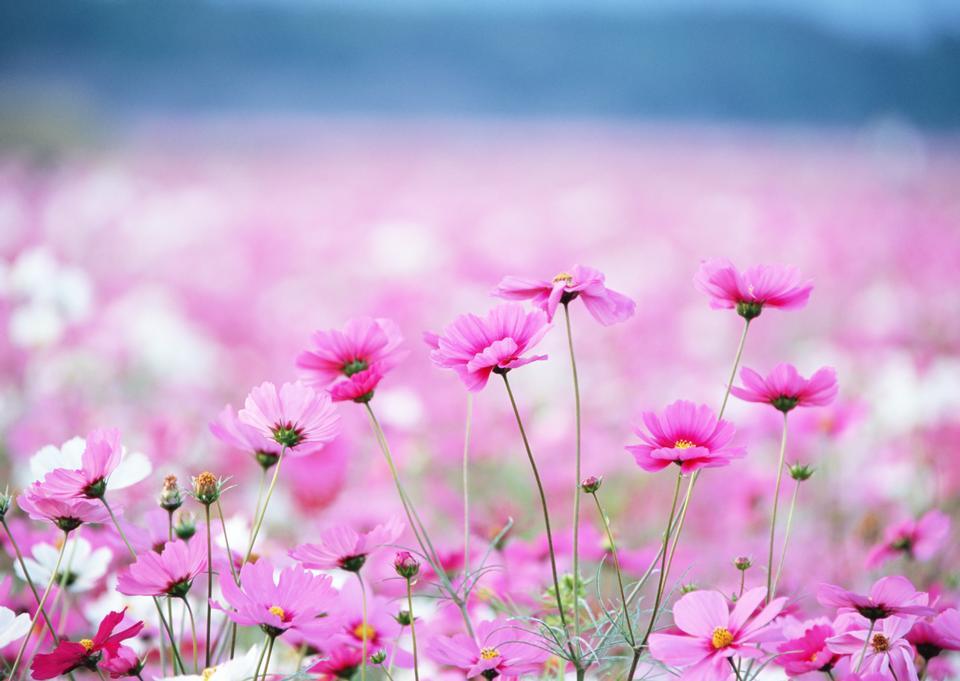 Colorful Cosmos flower field in Japan, beautiful garden