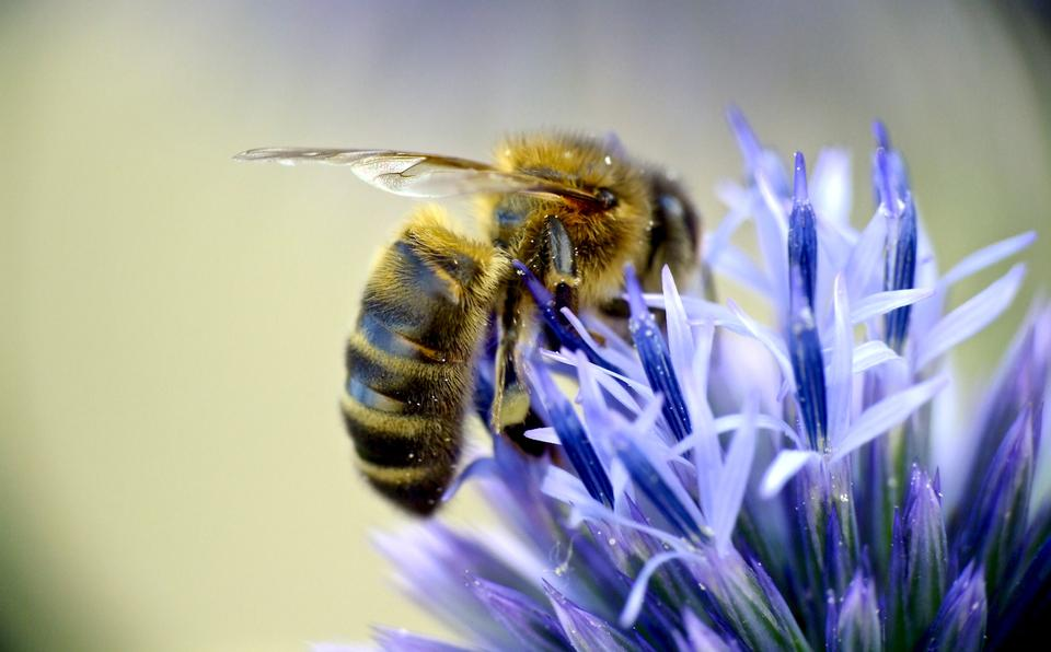 Honey bee on blue aster