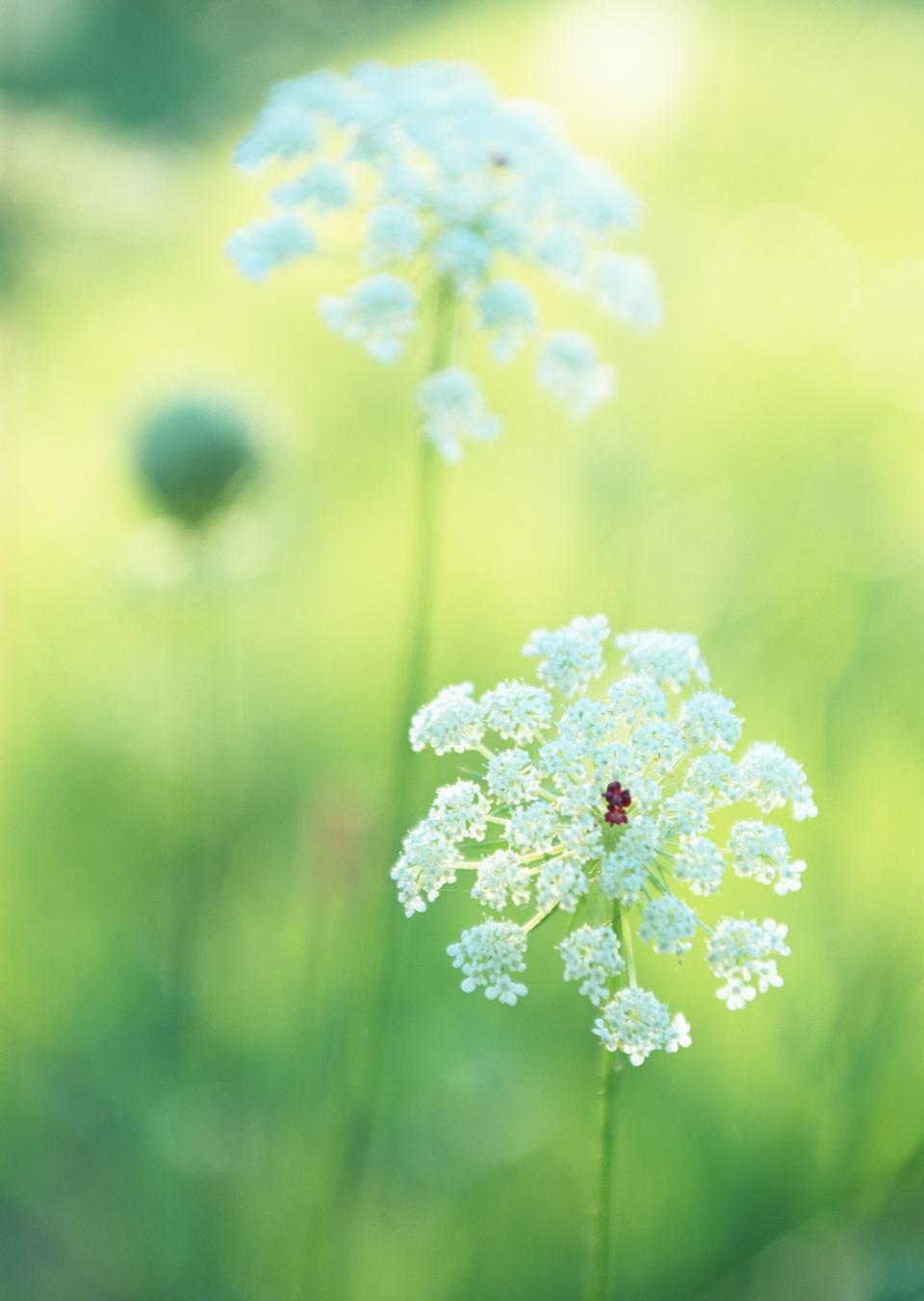日の出時の夏の野の花牛パセリ