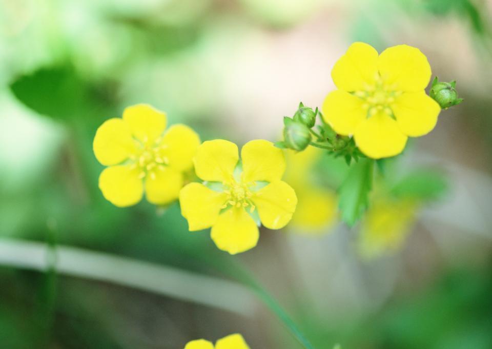 背景草甸金凤花的黄色的野花