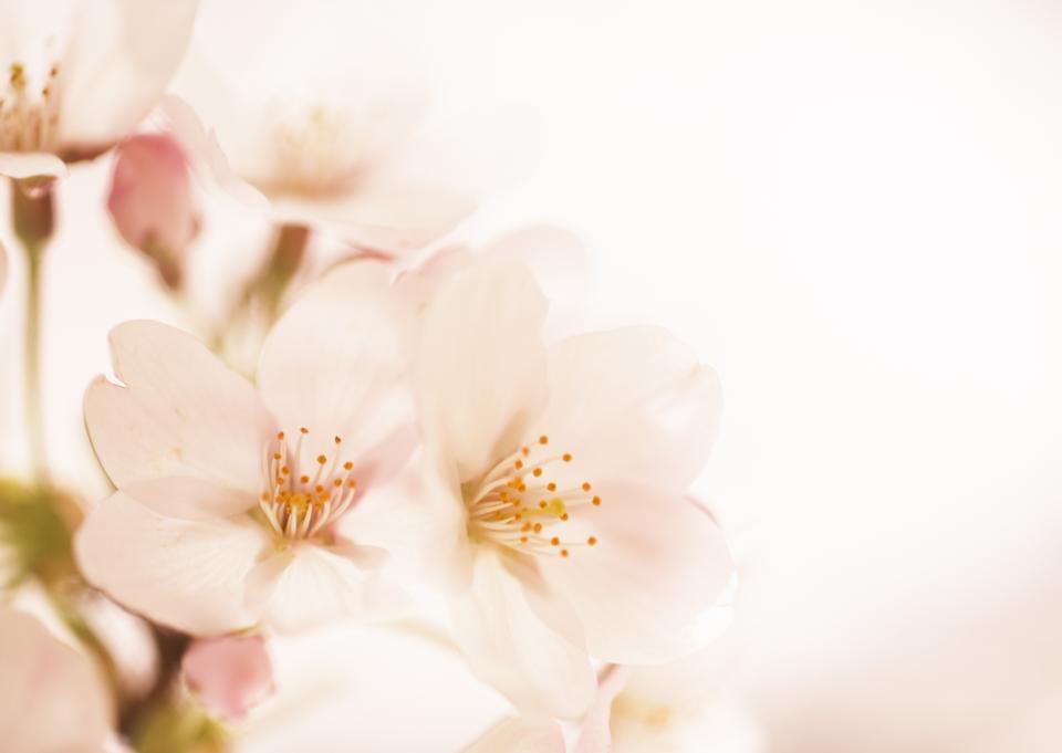 樱花(樱花)