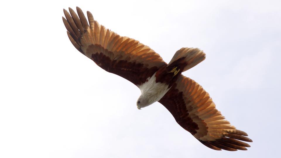 魚イーグルは、魚をキャッチするために高速で飛んで