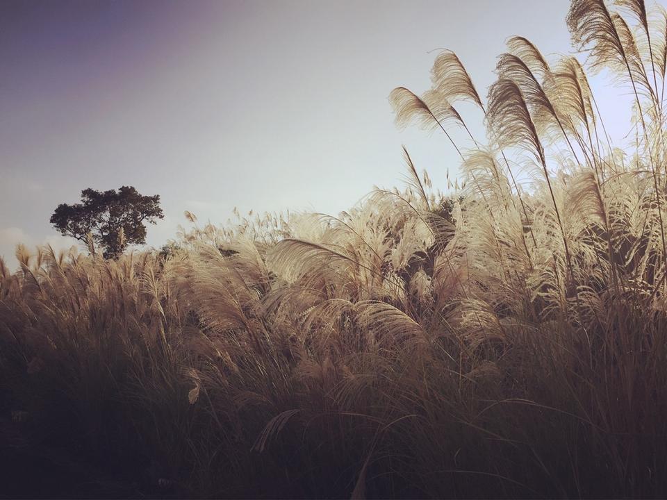 reed stalks in the swamp against sunlight