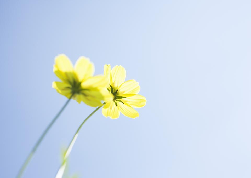 黄色的雏菊花,宏。