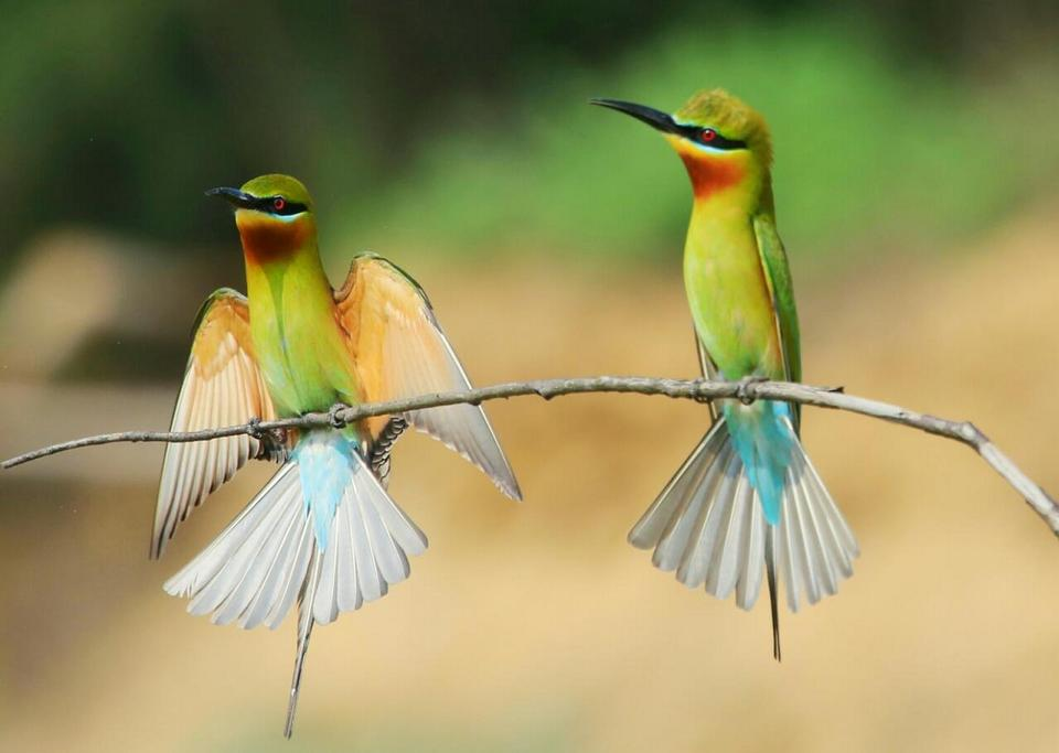 Green Bee Eaters on branch of tree
