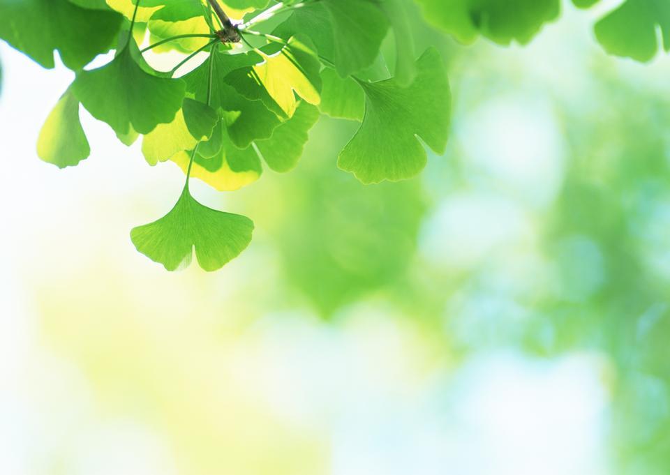Les feuilles vertes de Ginkgo sous le soleil fond