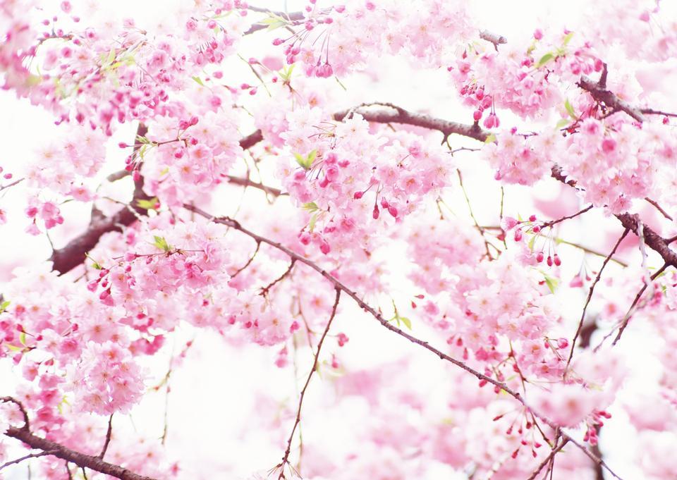 樱花樱花在日本。