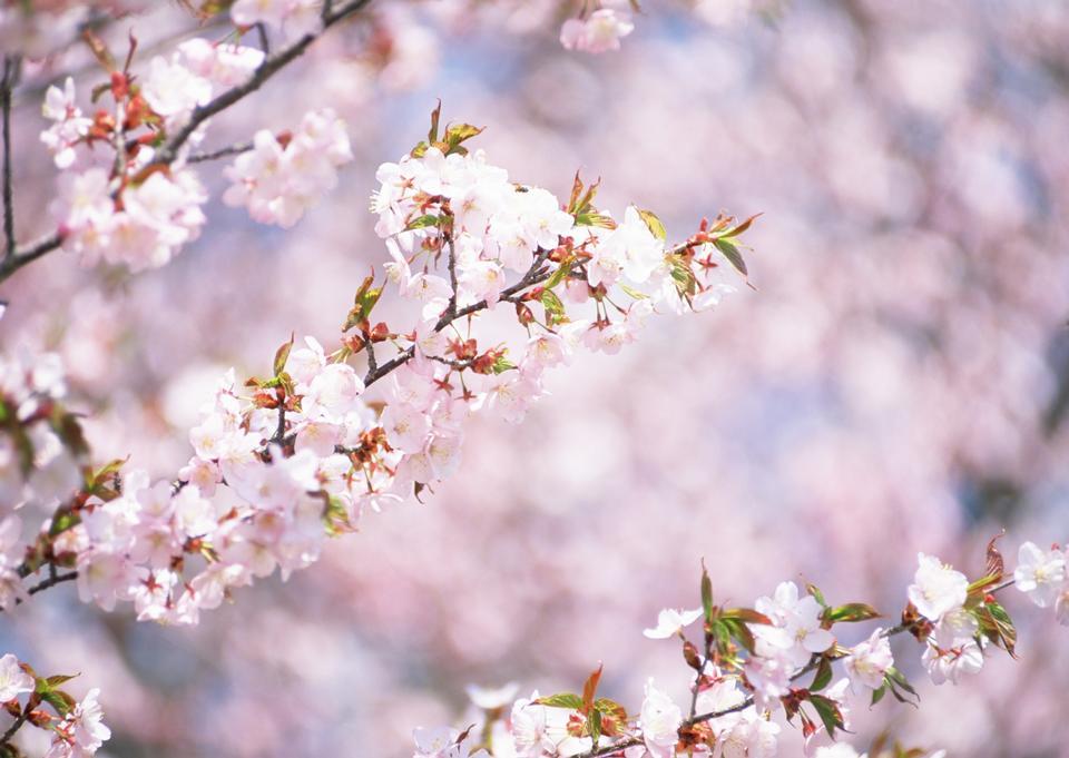 A Oriental White-eye bird, standing on the  cherry bloom.