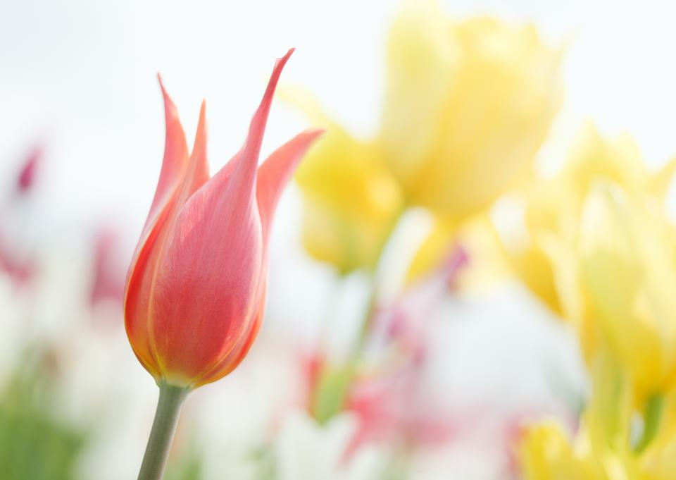 Pink tulip photographed with a selective focus