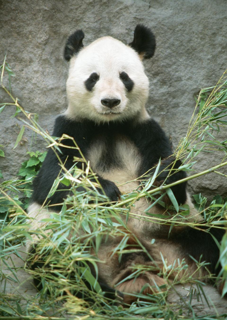 Giant panda bear in Bamboo
