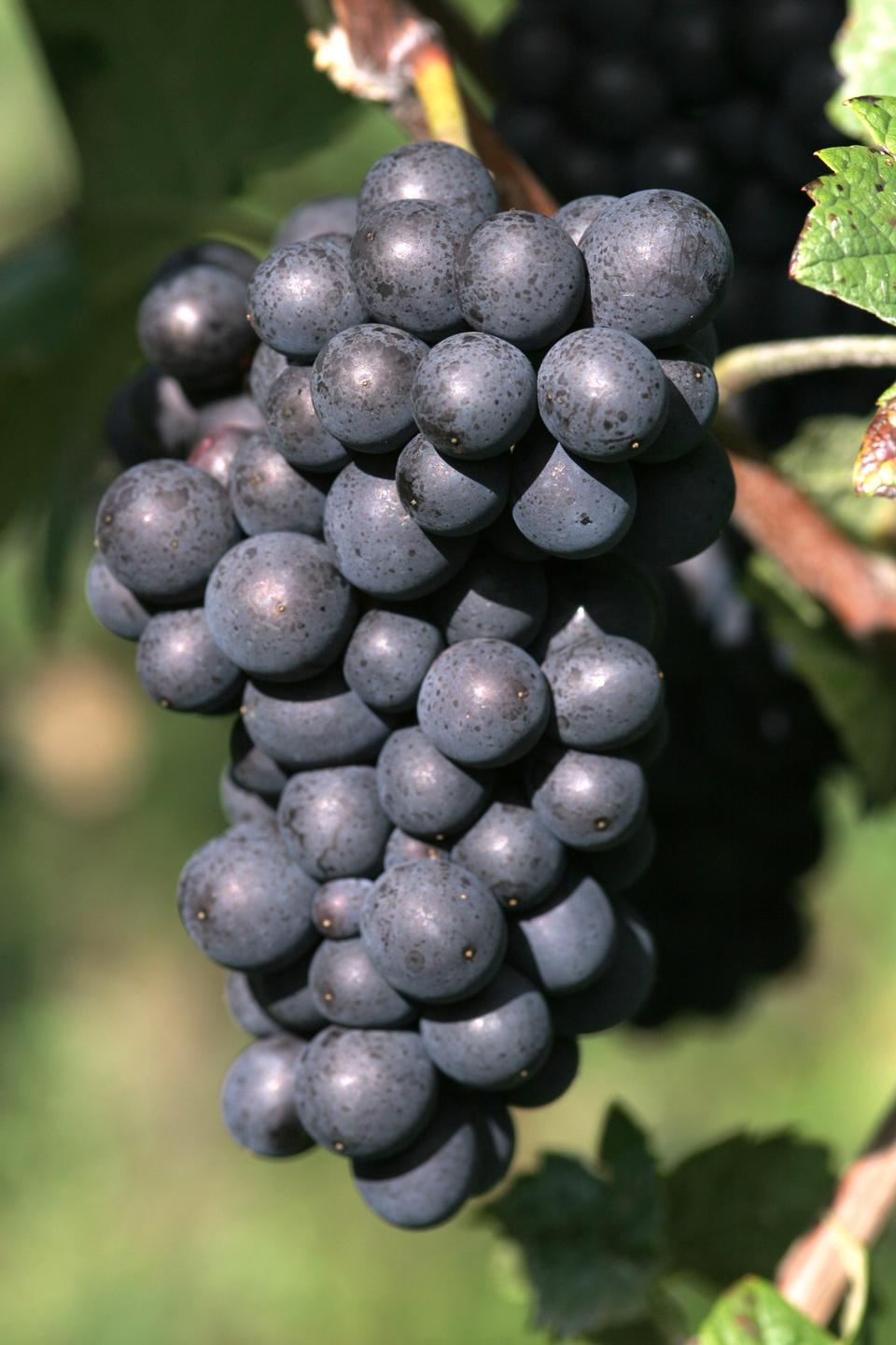 ripe red wine grape