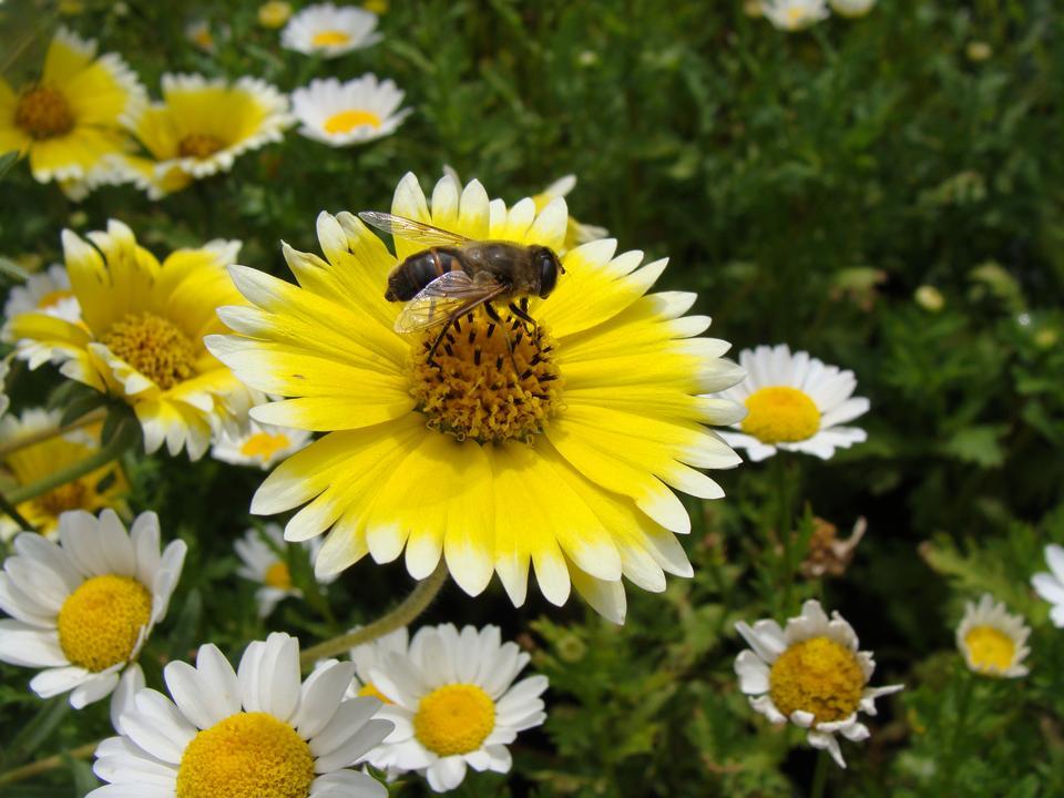 Honeybee and yellow flower head