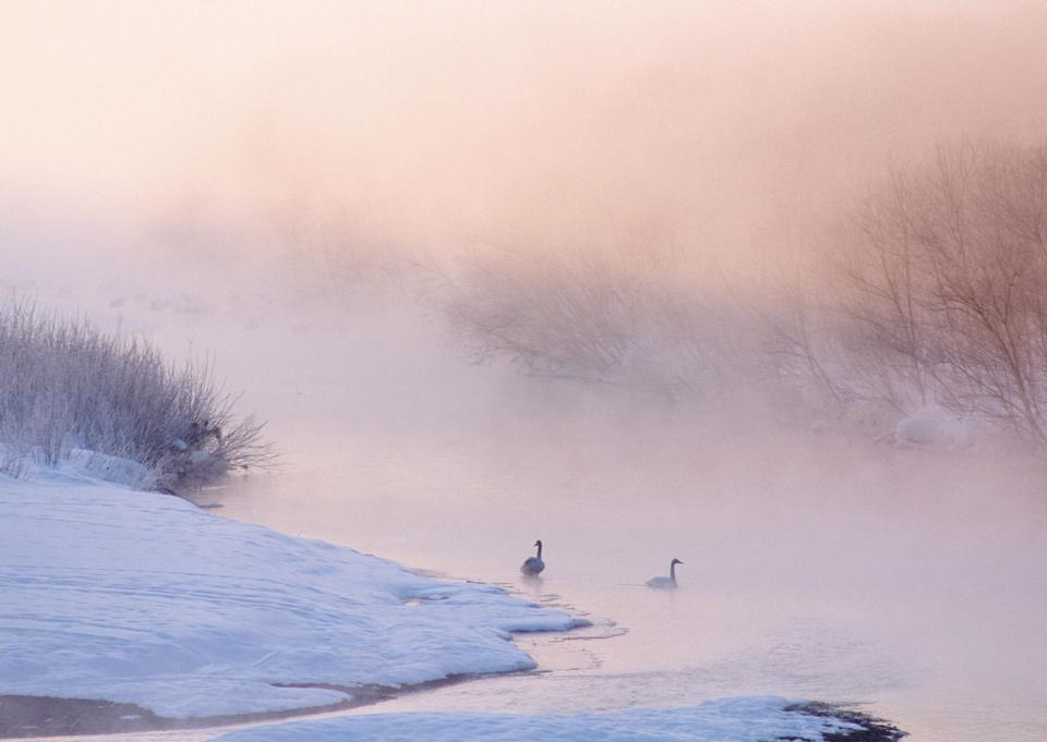 swans swimming in a winter lake