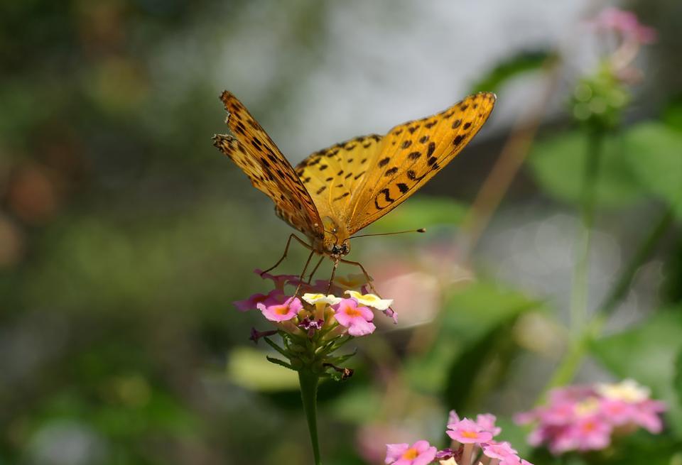 La femelle Fritillary indienne
