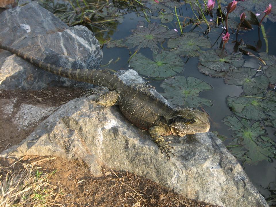 オーストラリアの爬虫類