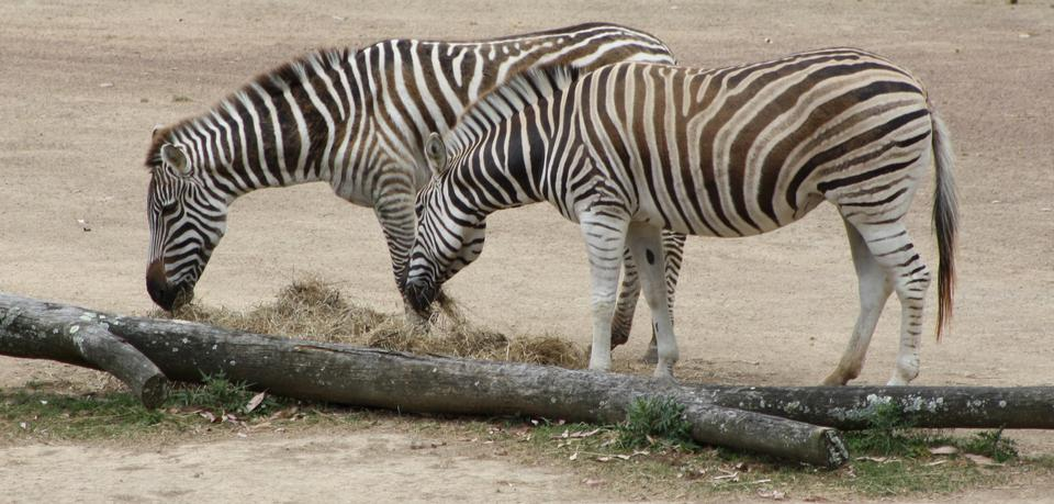 Due zebra a strisce close-up