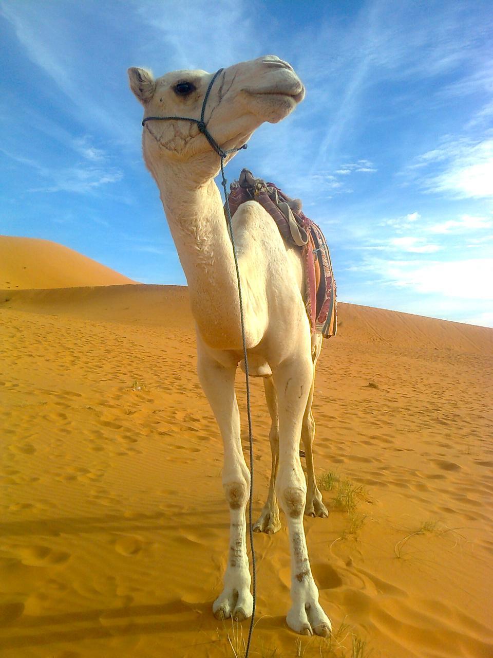 骆驼沙漠景观的冒险
