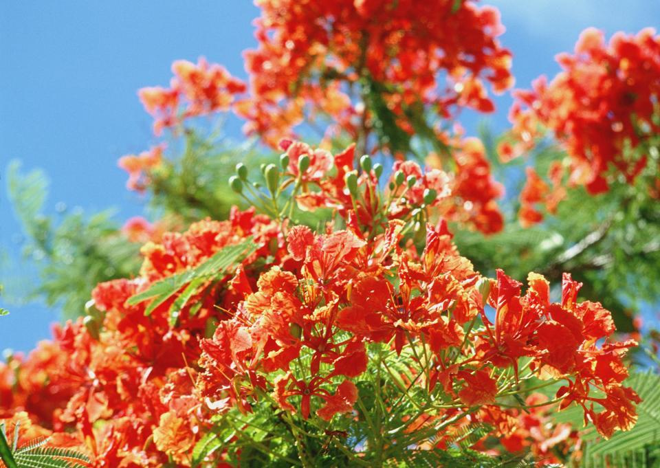 Orange rhododendron flowers