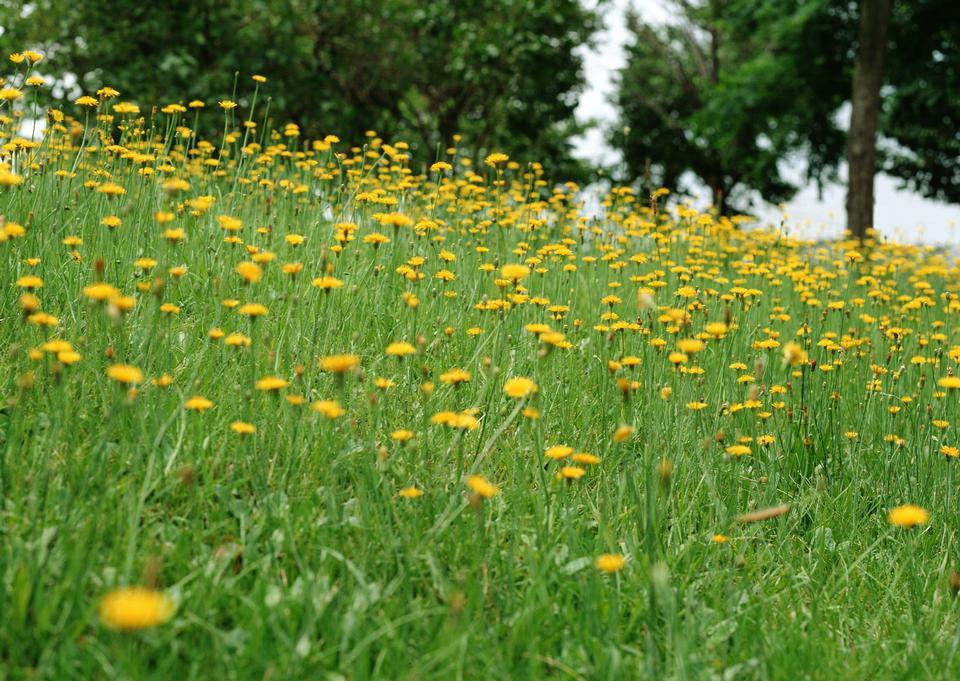 Field of yellow spring flowers in  feild