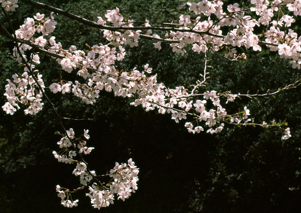 Japanese cherry tree in spring