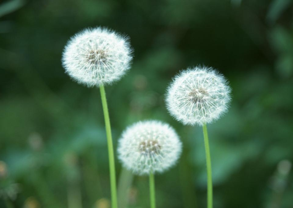 A Dandelion blowing seeds in the wind