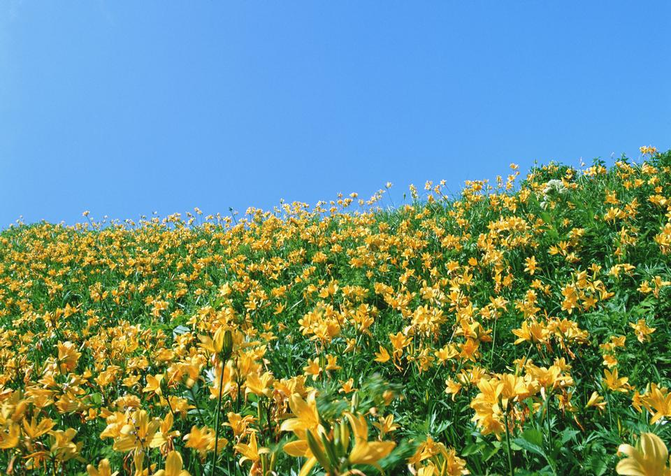 Yellow color flowers fields growing