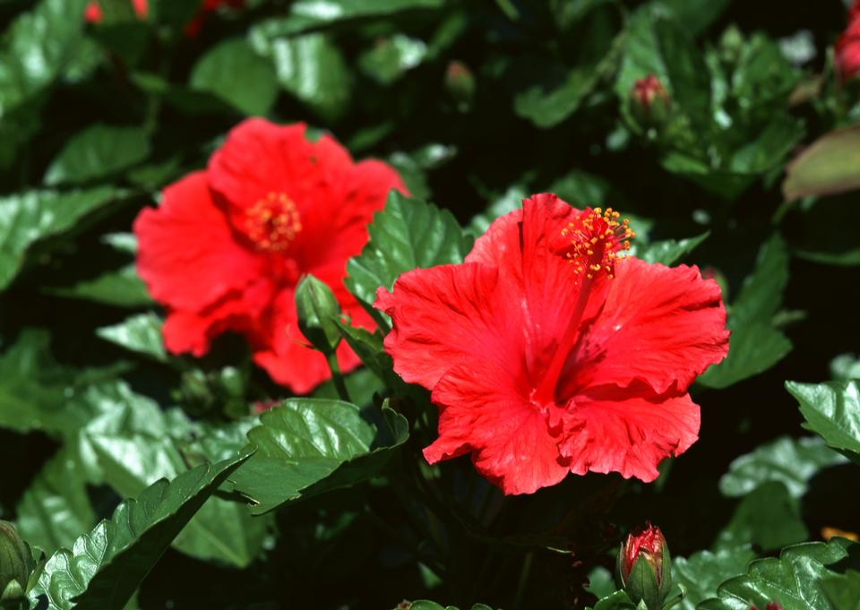 Two Red flower