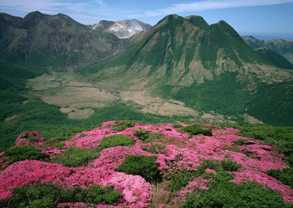 夏の山にマジックピンクのシャクナゲの花