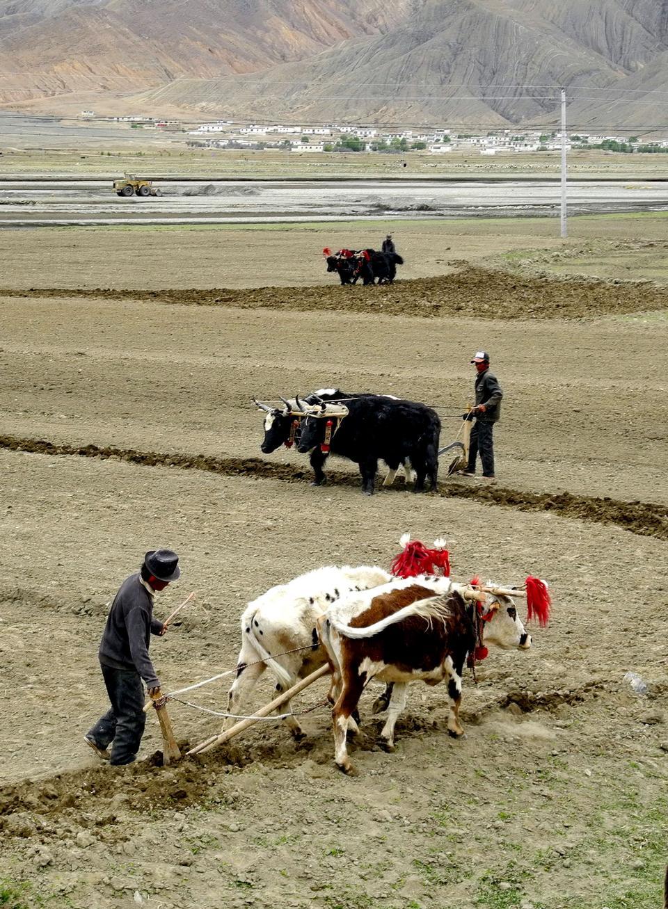 西藏农牧民用犁在农田牦牛草案