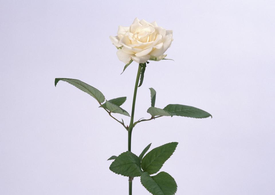 Single pale yellow rose flower