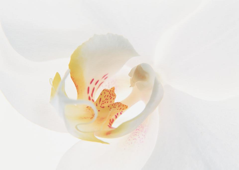 Closeup lily flower isolated on a white background