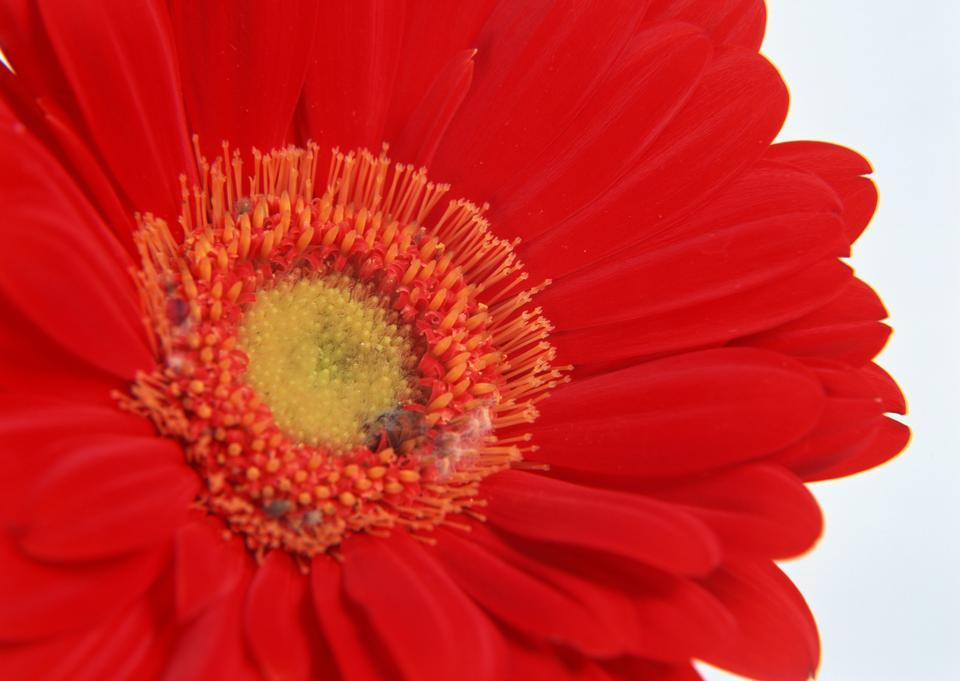 Red Gerber Blumen