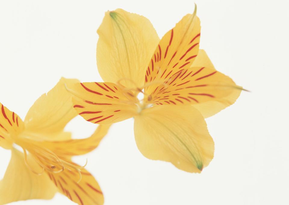 Beautiful orange lilies