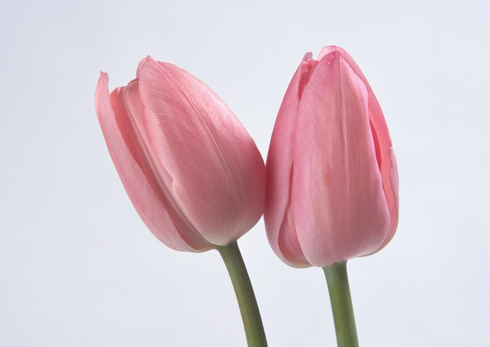 Two spring flowers. Tulips