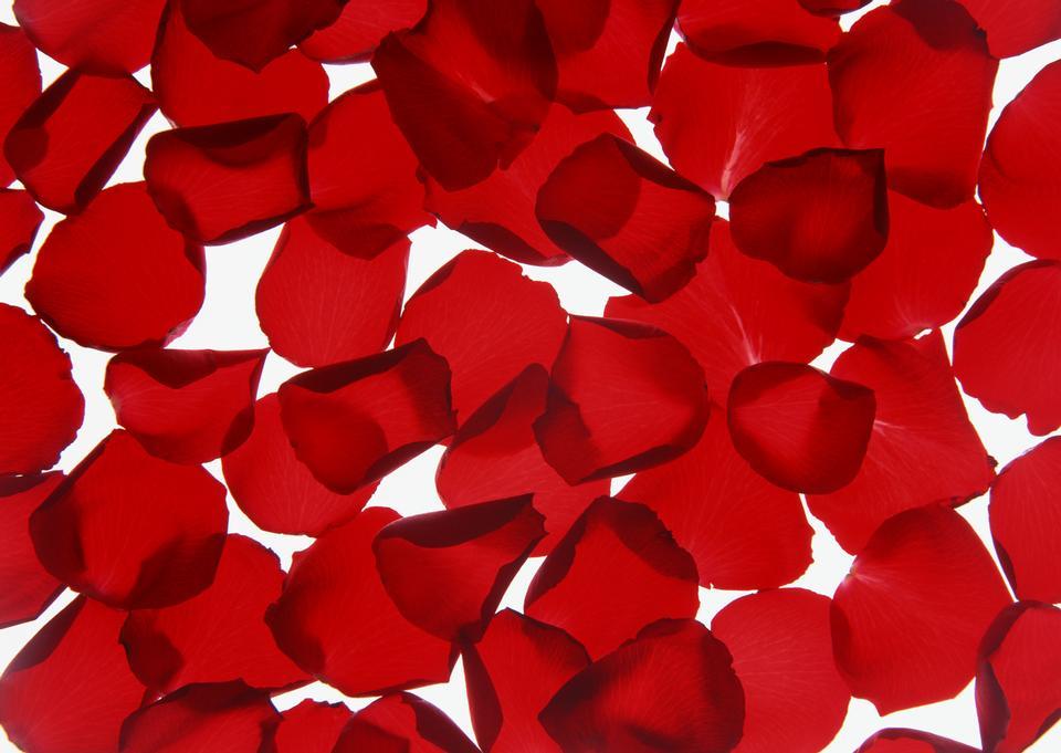 Hermosa rosa roja pétalos de fondo