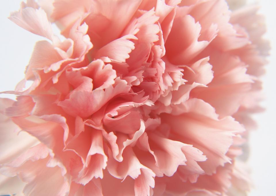 Pink carnation of closeup