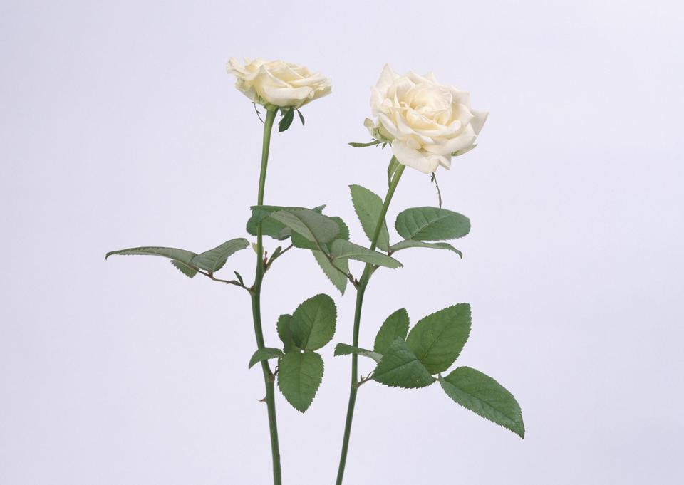 Two white rose with leaves