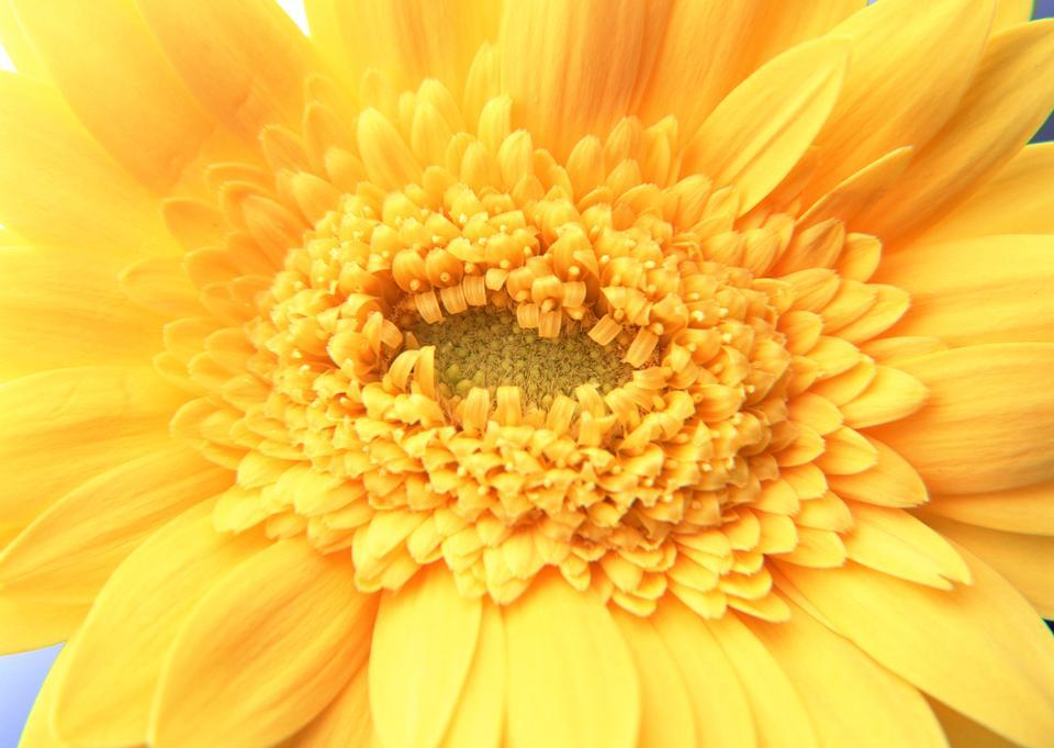 노란 거버 꽃