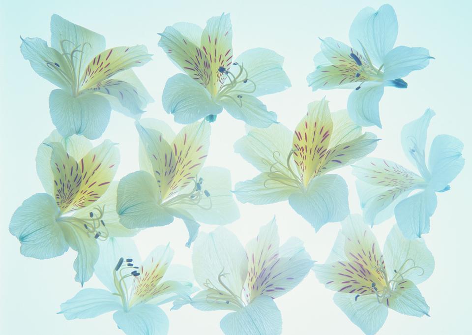 青い背景上のシャクナゲの花びら