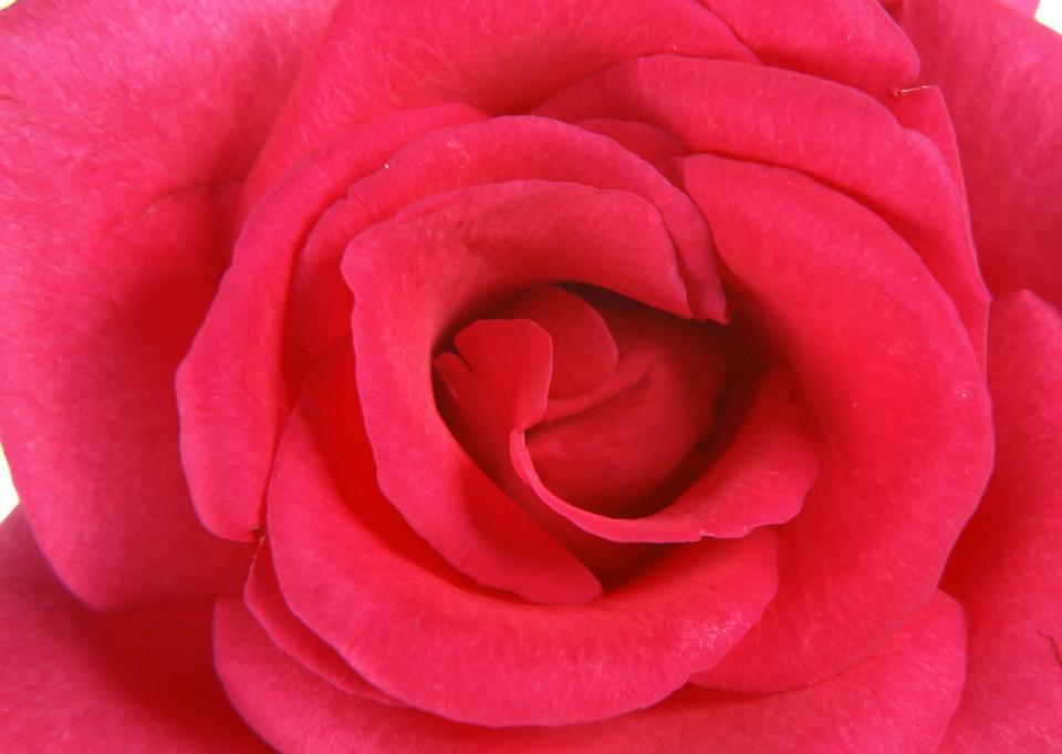 Pink rose bud macro