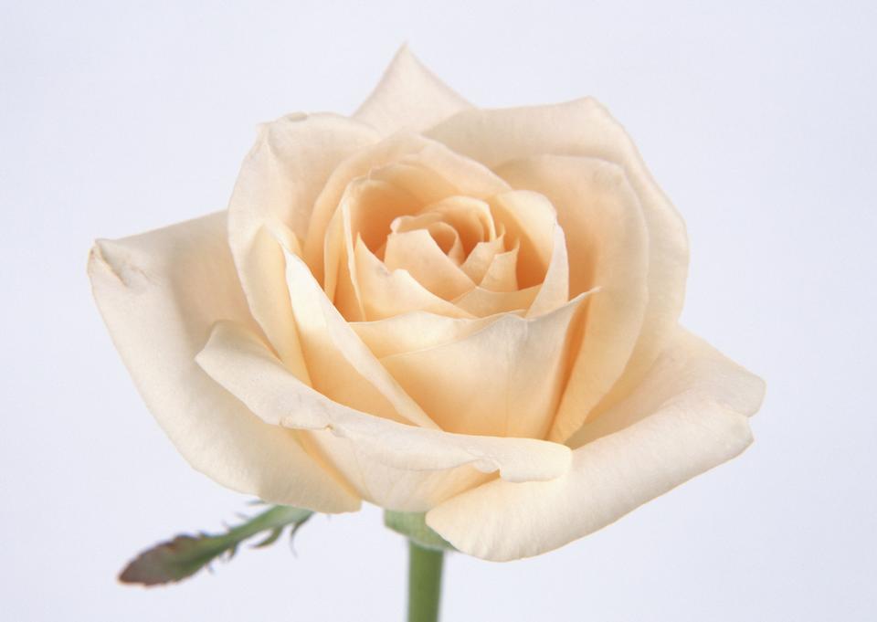 Orange rose closeup, romantic