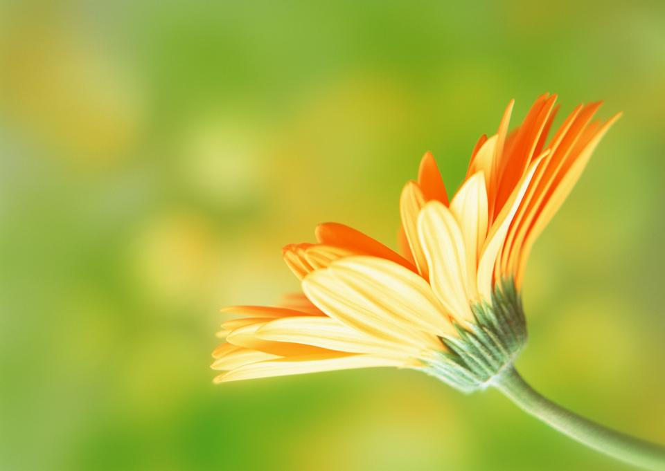 Orange Gerbera Daisy isoliert