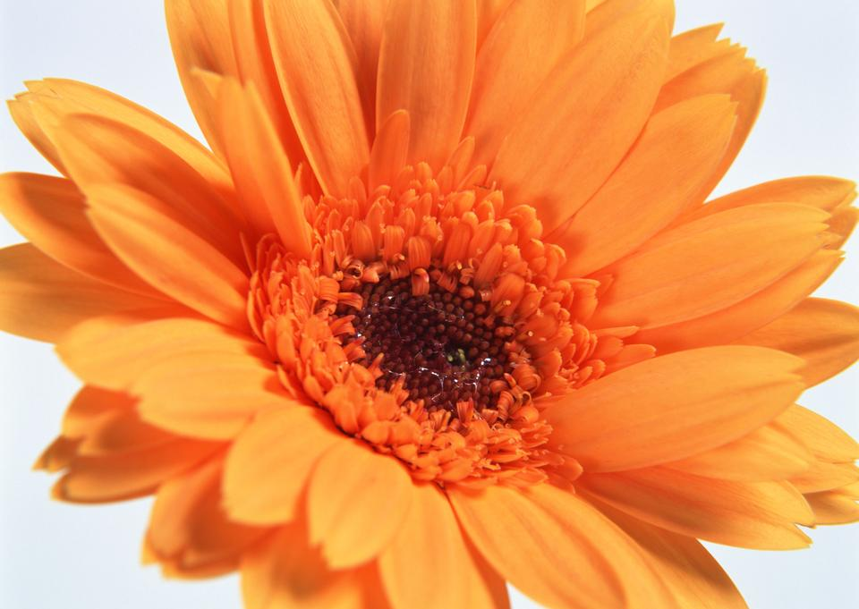 Farbe Orange gerber Blumen
