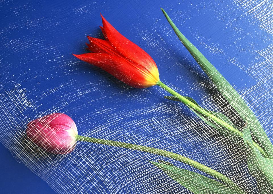 Two beautiful tulips flowers